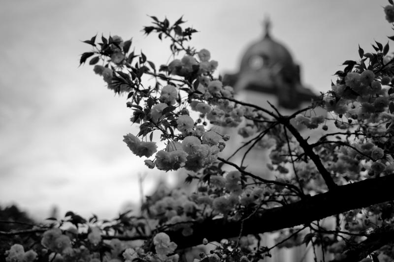 名古屋市市政資料館と桜 モノクロ