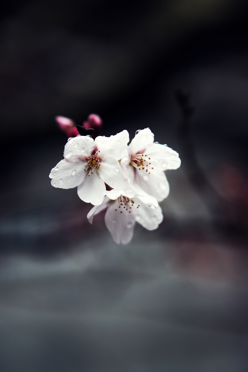 法多山の桜
